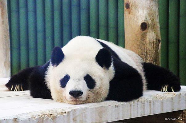 旦旦(タンタン) おねんね(神戸市立王子動物園)