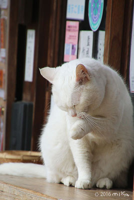顔を洗う白いネコ