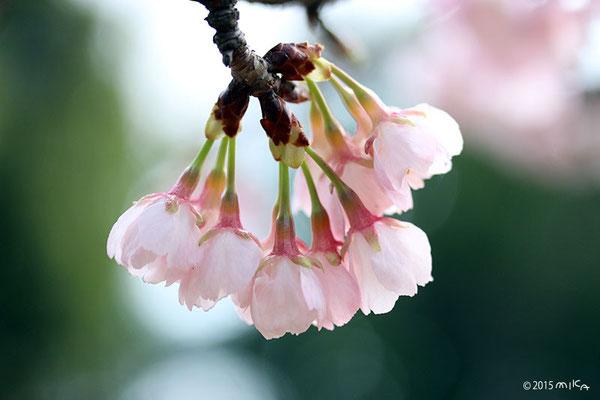 アンギョウカンザクラ(安行寒桜)