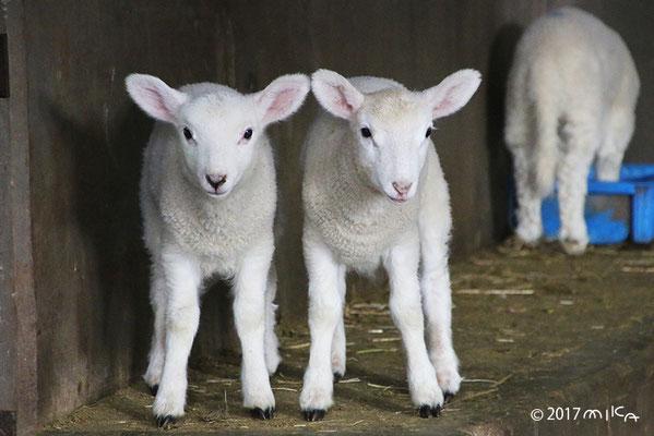 子羊2頭②