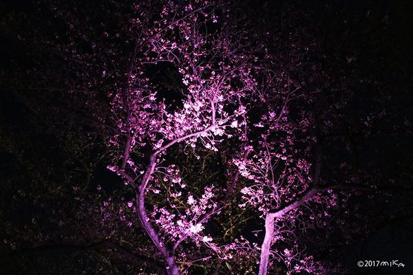 清流園付近での桜のライトアップ