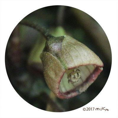 フタバアオイの花