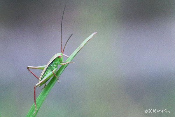 キリギリスの幼虫②