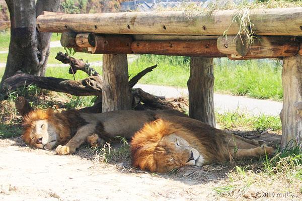 寝ているオスのライオン②(白浜アドベンチャーワールド)