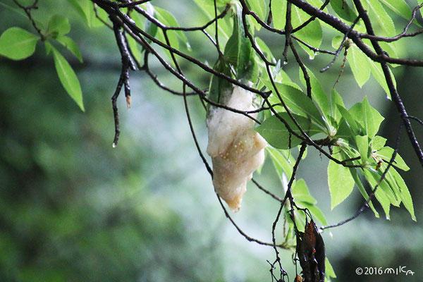 モリアオガエルの卵塊(あわ巣)神戸市立森林植物園
