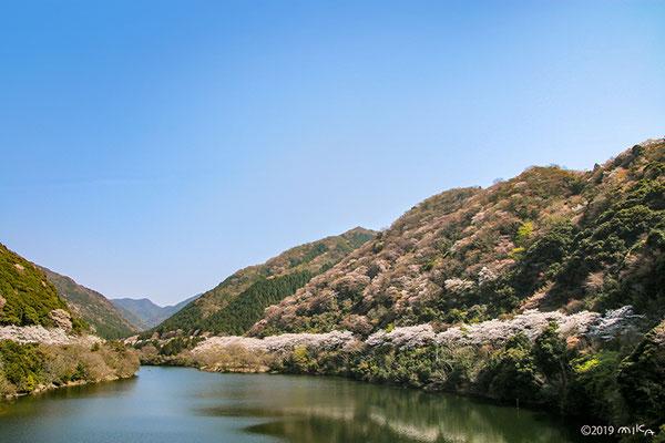 諭鶴羽ダムの桜景色