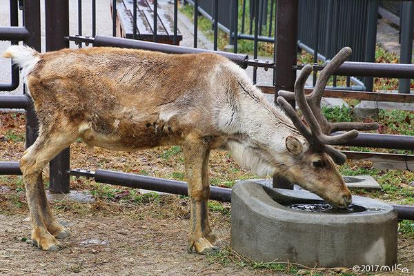 トナカイのオス①(東山動物園)