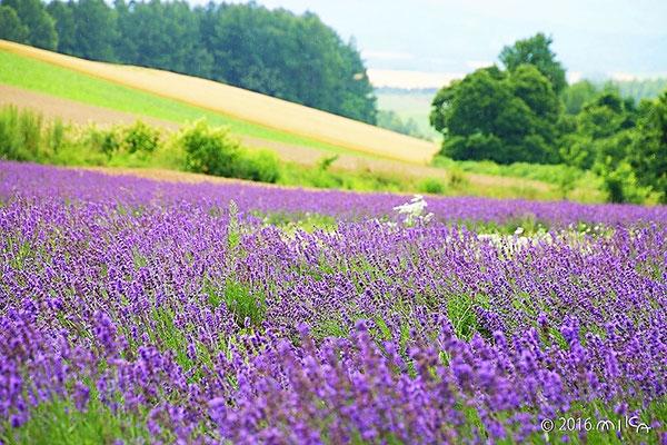 ラベンダーの花とパッチワークの丘(拓真館)
