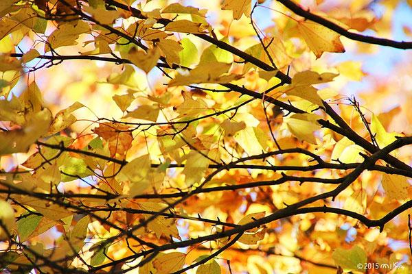 東福寺の宋国原産の三葉楓(葉先が三つに分かれ黄金色に色づくのが特徴)
