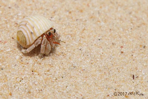 砂浜のヤドカリ