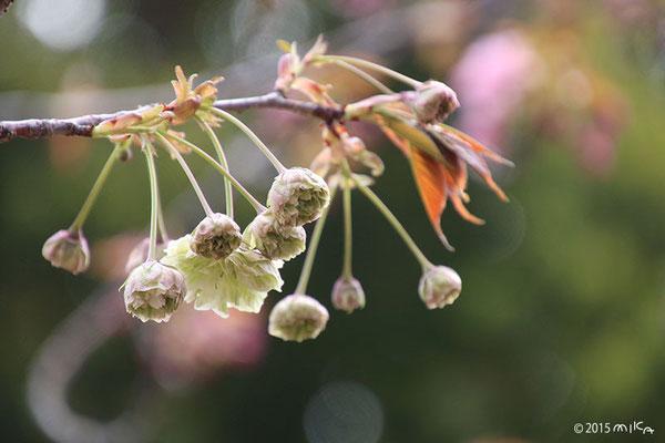 園里黄桜(そのざときざくら)平成27年の始めての花/桜の通り抜け