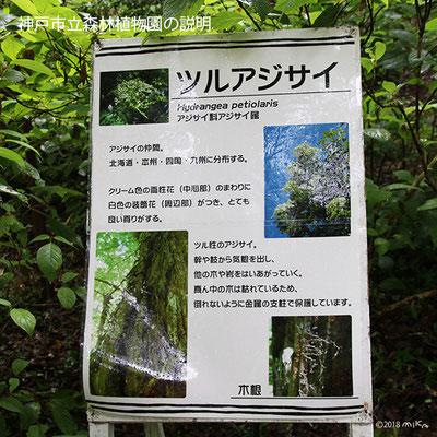 ツルアジサイの説明(神戸市立森林植物園)