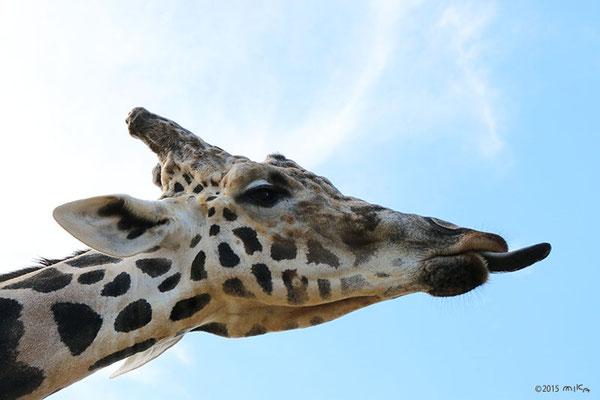 キリンの長い舌①(白浜アドベンチャーワールド)