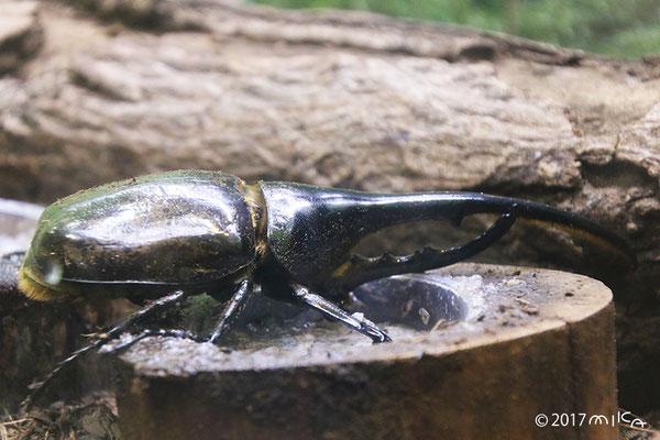 ヘラクレスオオカブトムシ(伊丹市昆虫館)
