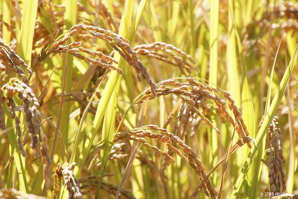 10月の稲