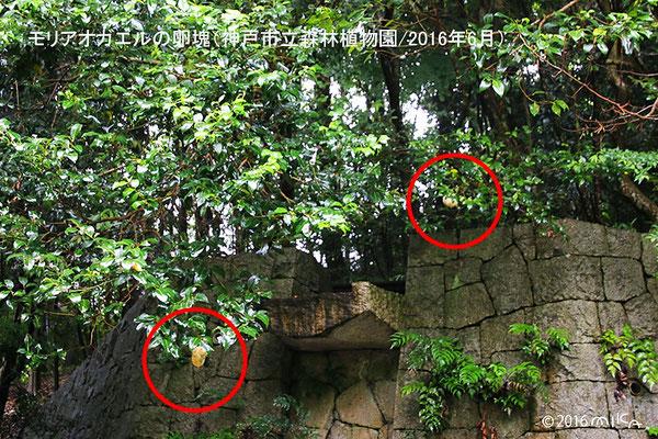 モリアオガエルのたまご(神戸市立森林植物園)