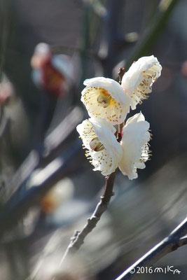 華農玉蝶(かのうぎょくちょう)