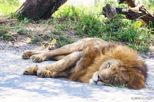 寝ているオスのライオン①(白浜アドベンチャーワールド)