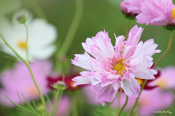 変わり咲きコスモス