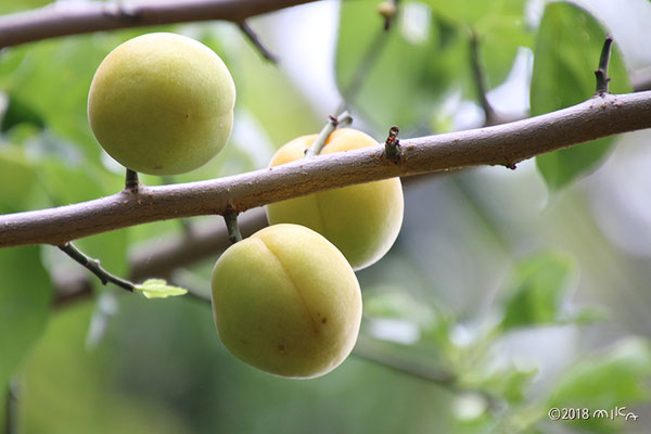 黄色く色づいた梅の実