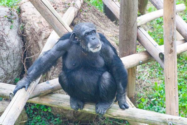 木の上でしゃがむチンパンジー(神戸市立王子動物園)
