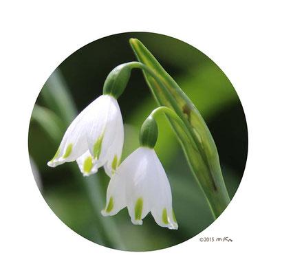 スノーフレーク(1花茎に2つの花)