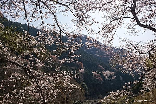 山の桜(諭鶴羽ダム)