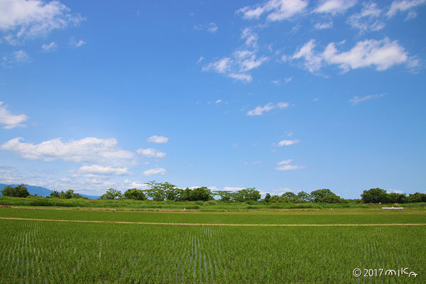 青空の青田(琵琶湖周辺)