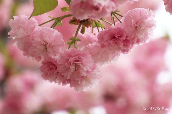 松前琴糸桜(まつまえこといとざくら)平成26年の「今年の花」