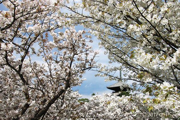 満開の御室桜