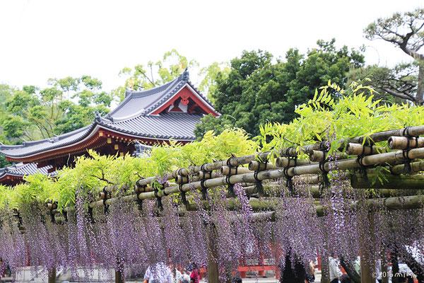 平等院の藤①(京都)