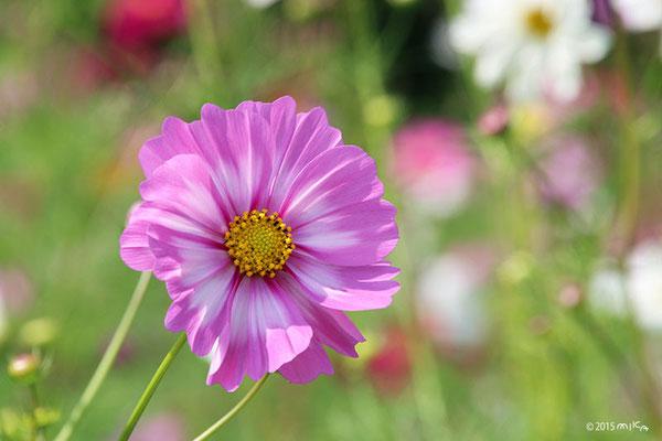 変わり咲きコスモス(大きなピンク)
