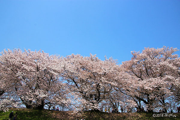 三本の桜(背割堤)