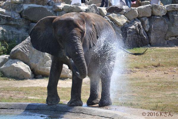 アフリカゾウ(写真は大阪府Kさん)①白浜アドベンチャーワールド2016年