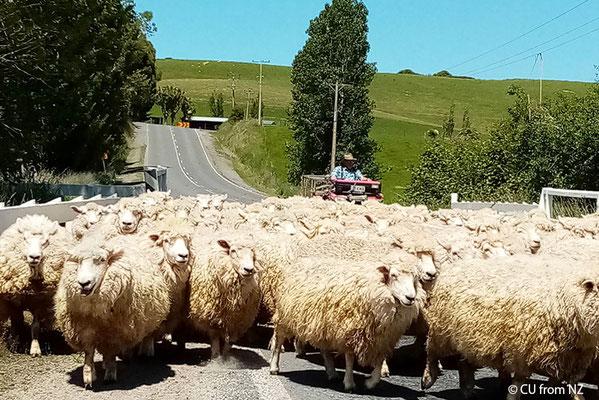 ヒツジの大群(ニュージーランド/写真提供CUさん)