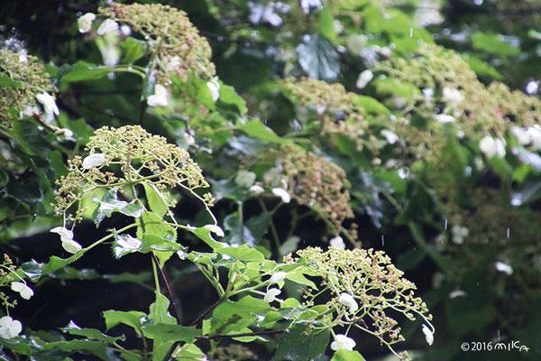 ツルアジサイの花