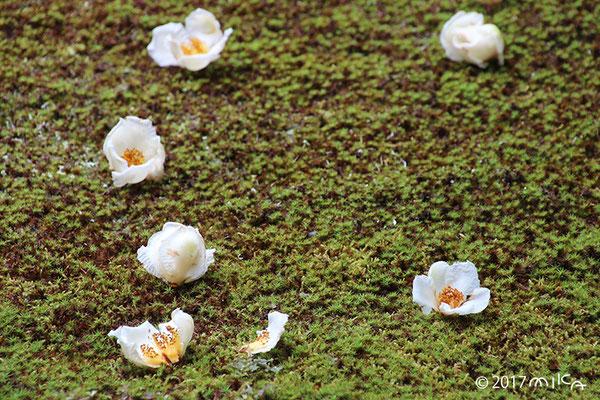 青苔にナツツバキの落花
