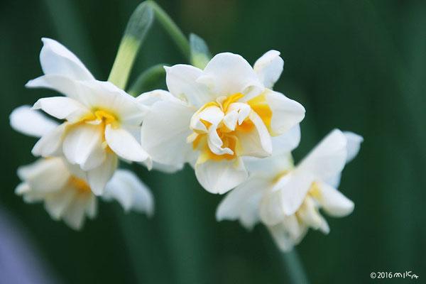 八重咲きのスイセン(白)①