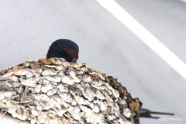 親鳥がたまごをあたためている様子(4月頃)/夙川にて