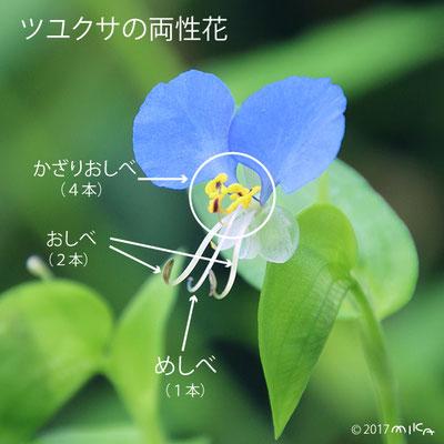 ツユクサの両性花の説明