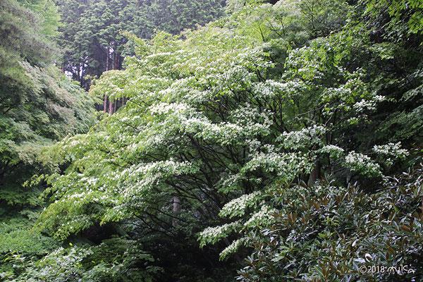 ヤマボウシの咲く森