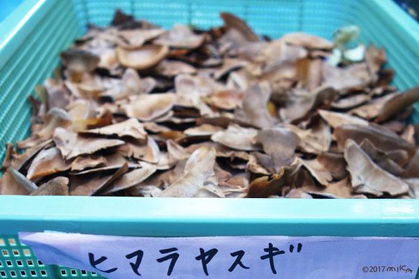 ヒマラヤスギの実(万博記念公園)