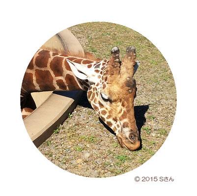 ゲンキくんゴロン(オス/旭山動物園)大阪府Sさん撮影