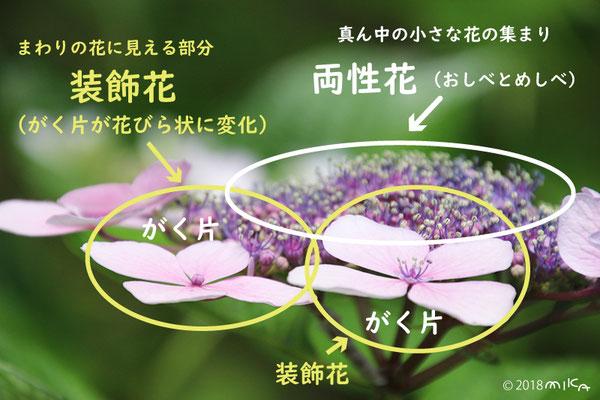 ガクアジサイの花のつくり
