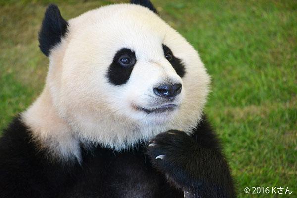白浜アドベンチャーワールドのジャイアントパンダ(大阪府Kさん)