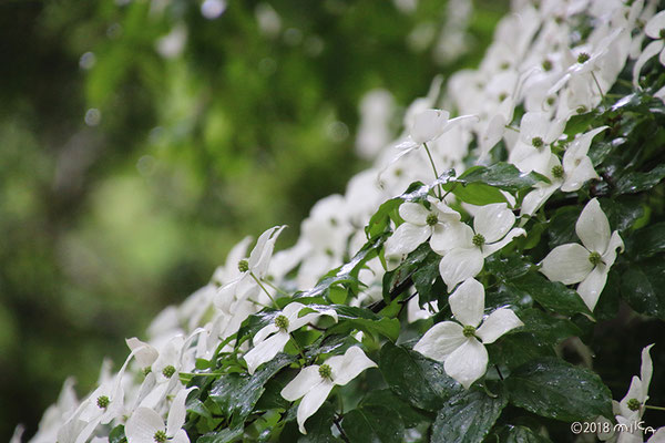 ヤマボウシの花々
