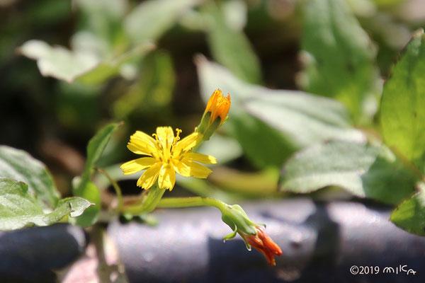 ホトケノザ(タビラコ)の花(3月)