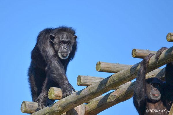 青空のチンパンジー