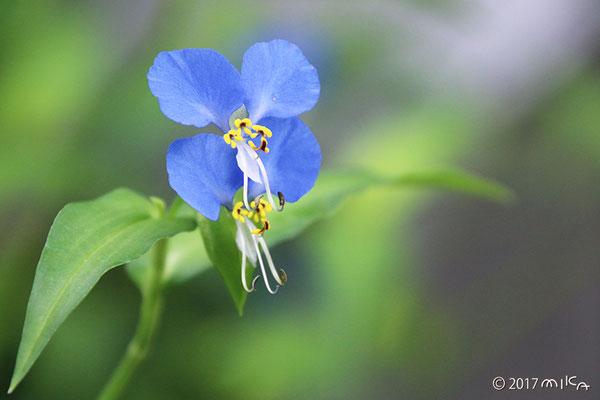 ツユクサの雄花と両性花(正面)