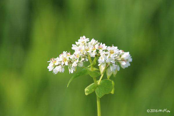 そばの花(白)①